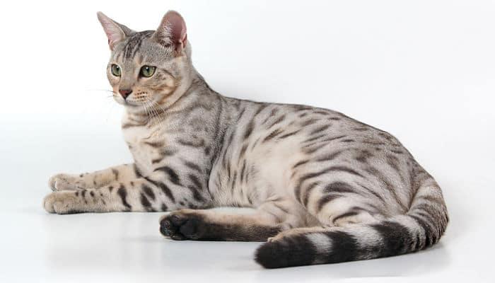 cáncer en gatos