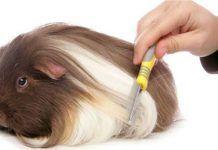 cobayas de pelo largo