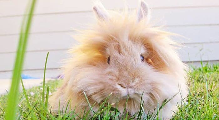 conejos-de-pelo-largo-1