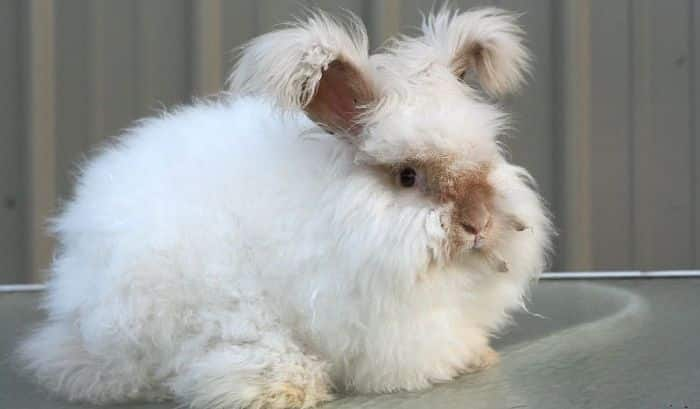 conejos-de-pelo-largo-2