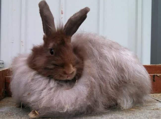 conejos-de-pelo-largo-3
