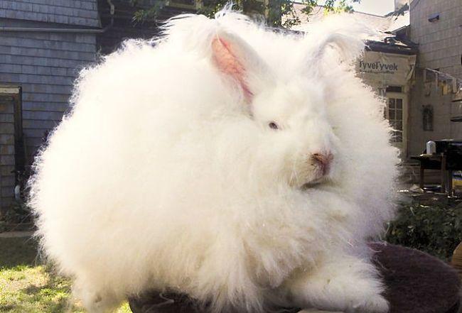 conejos-de-pelo-largo-4
