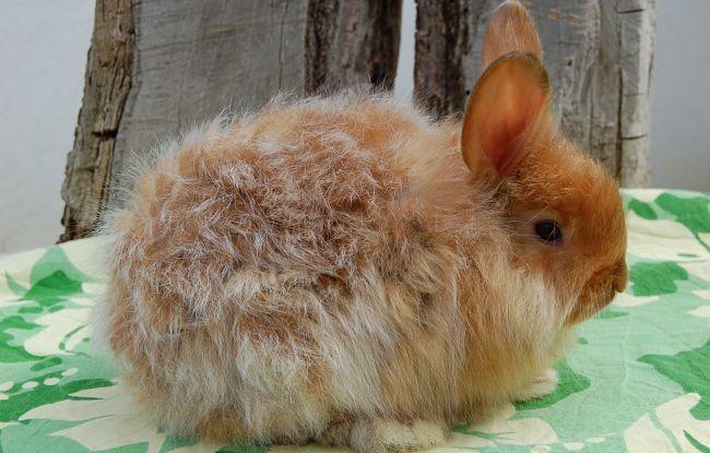 conejos-de-pelo-largo-5