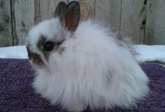 conejos-de-pelo-largo-6