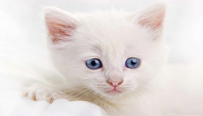 Los gatos y las enfermedades oculares