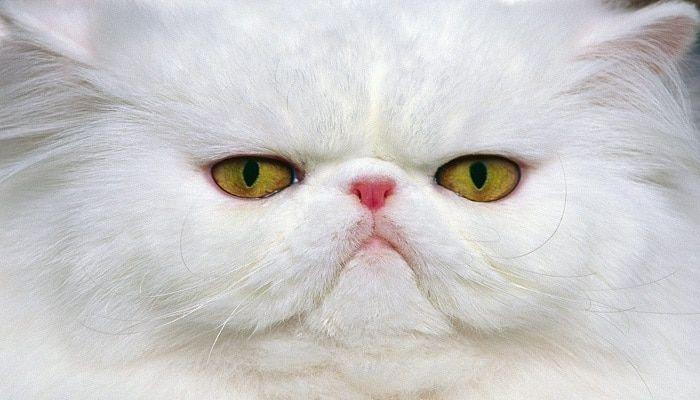 las enfermedades oculares en los gatos