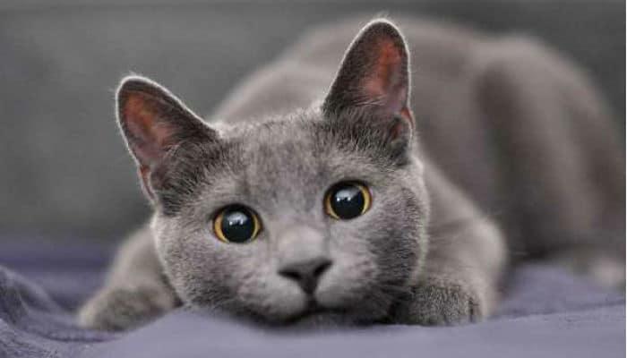 gato azul razas