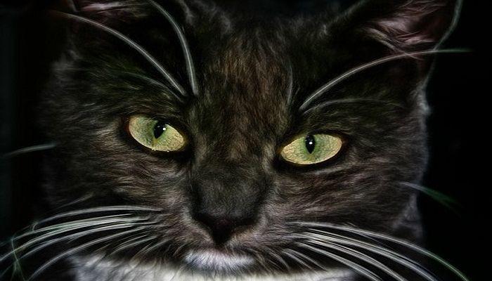 infecciones del oído en los gatos