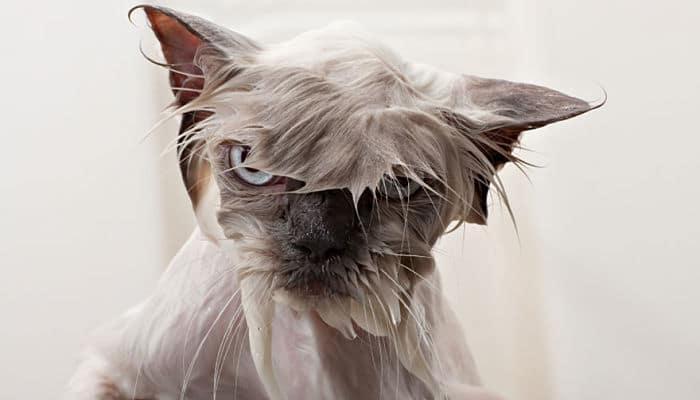 Los gatos pueden bañarse