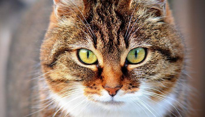 micoplasma en gatos