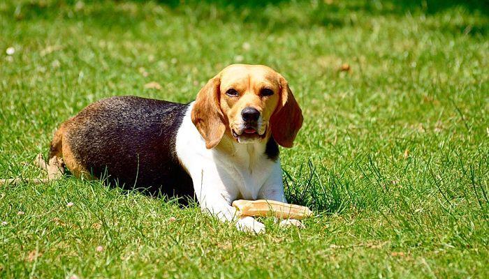 perro raza beagle