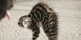 porque los gatos se erizan