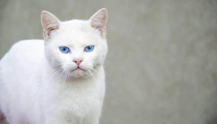 los gatos con pulgas