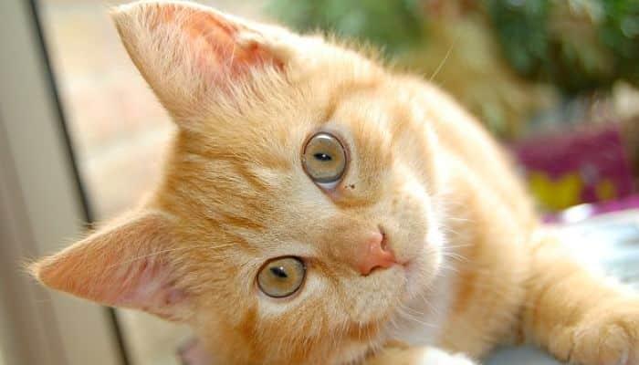 pulgas en gatos