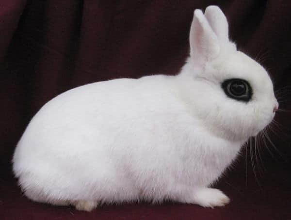 razas-de-conejos-enanos-10
