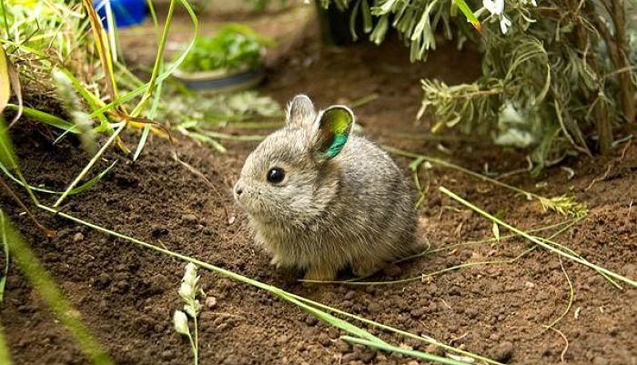 razas-de-conejos-enanos-1