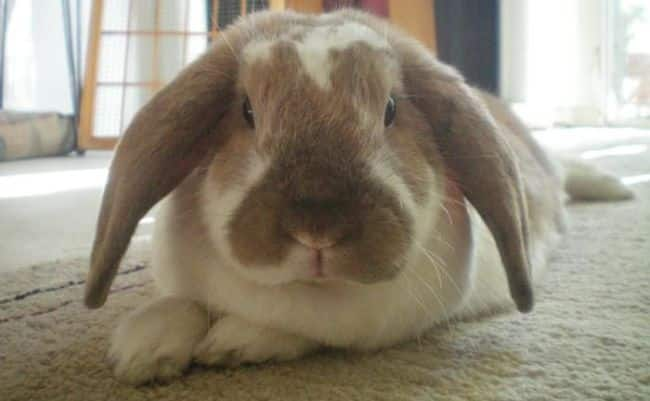 razas-de-conejos-enanos-8