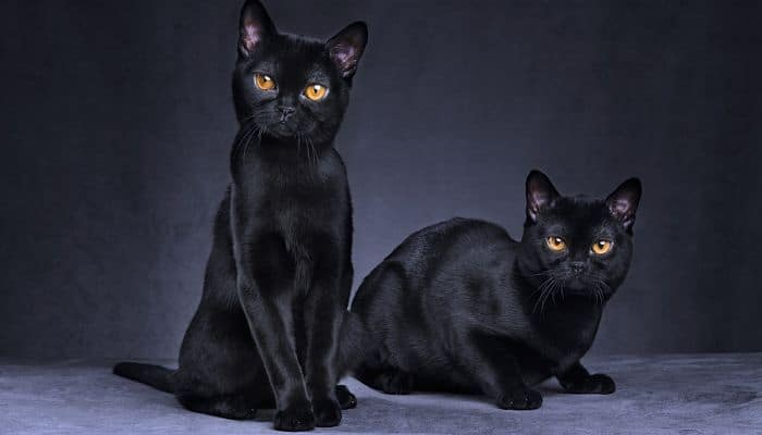 razas de gato bombay