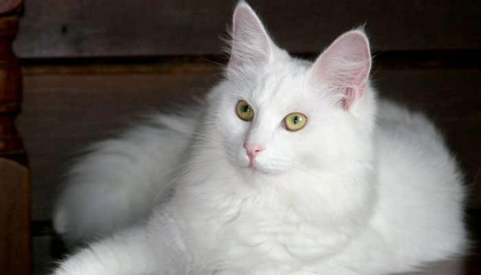 razas de gatos angora