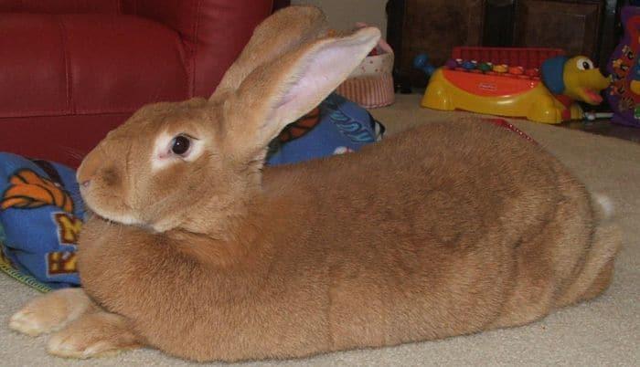 razas-de-conejos-gigantes-1