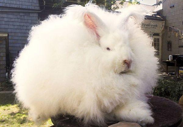 razas-de-conejos-gigantes-3