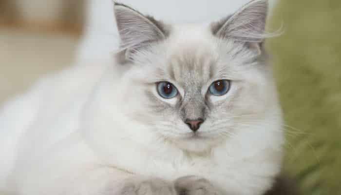 el ragdoll un gato cariñoso