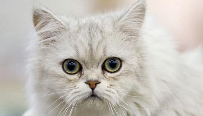 gato chantilly una raza cariñosa