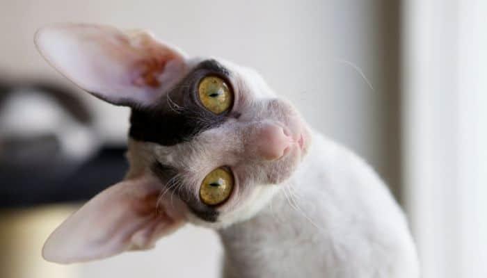 gato cornish rex una raza cariñosa
