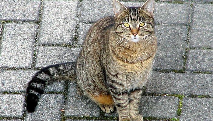 gato domestico méxico