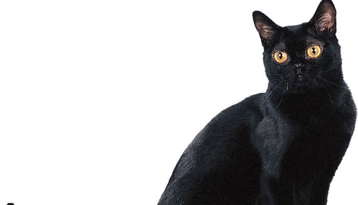 gato habana una raza cariñosa