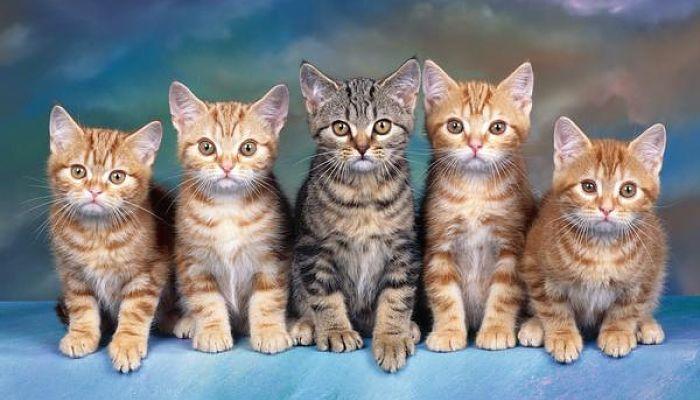 gatos atigrados razas