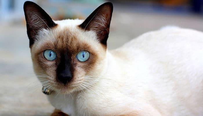 gatos siames razas de gatos mas cariñosa