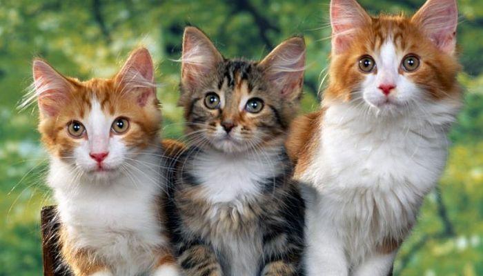 grupos de gatos