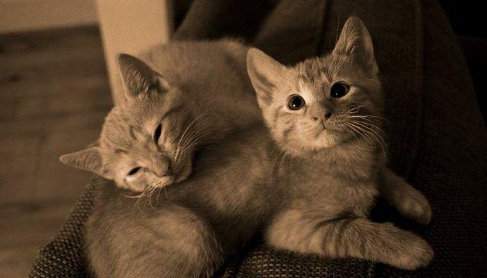 qué tipo de reproducción tienen los gatos
