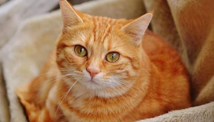 que raza son los gatos naranja