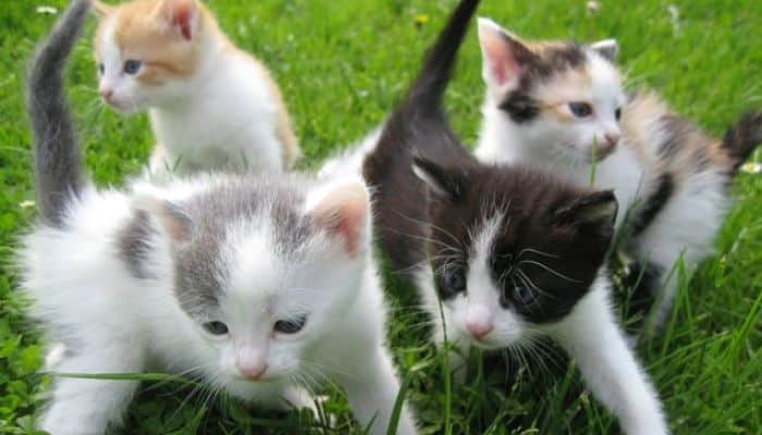 reproducción en gatos