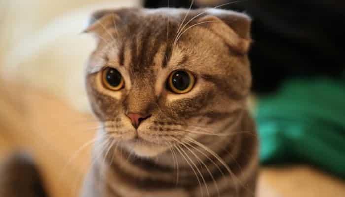 respiración en gatos