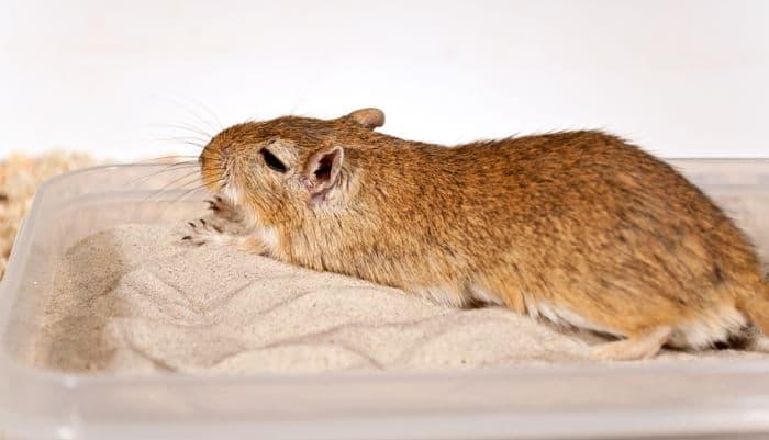 banar-a-un-hamster-2