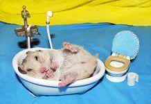 bañar a un hámster