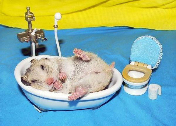 banar-a-un-hamster-3