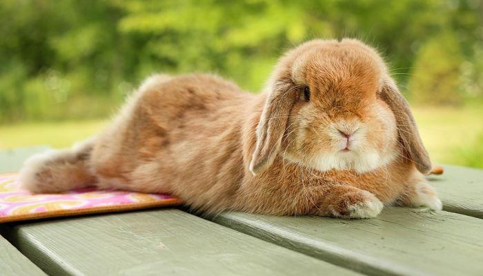 conejos-holland-lop-2