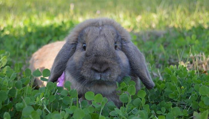 conejos-holland-lop-4