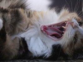 heridas en gatos que no cicatrizan