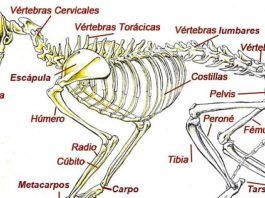 los gatos tienen más huesos que los humanos