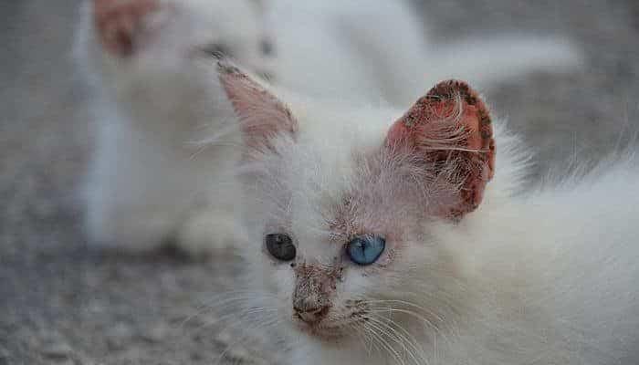 remedios caseros para la sarna de los gatos