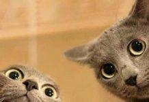 que raza son los gatos grises