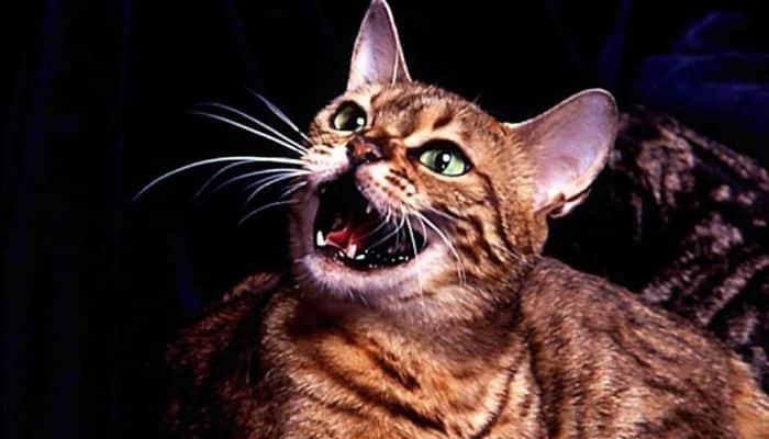 sonidos que emiten los gatos