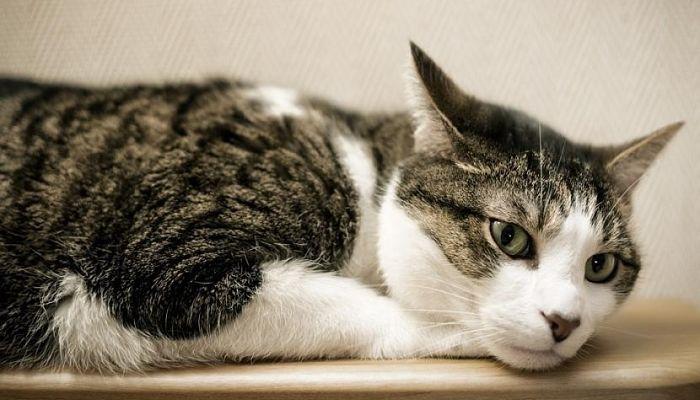 dolor de oído en gatos