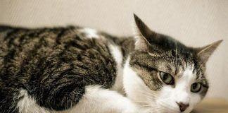 dolor de oídos en gatos