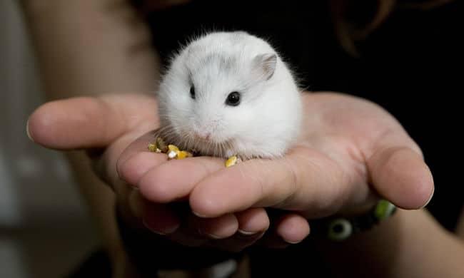 como domar a un hamster
